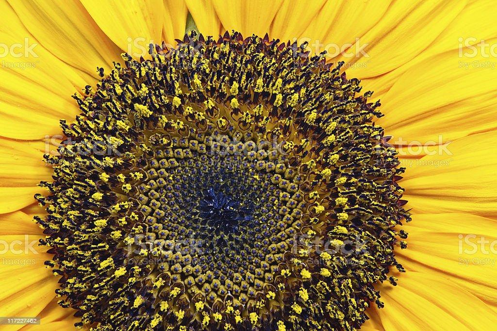 Sun Flowers Volume royalty-free stock photo