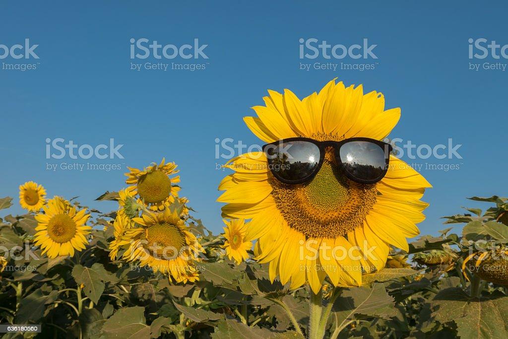 sun flowers15 stock photo
