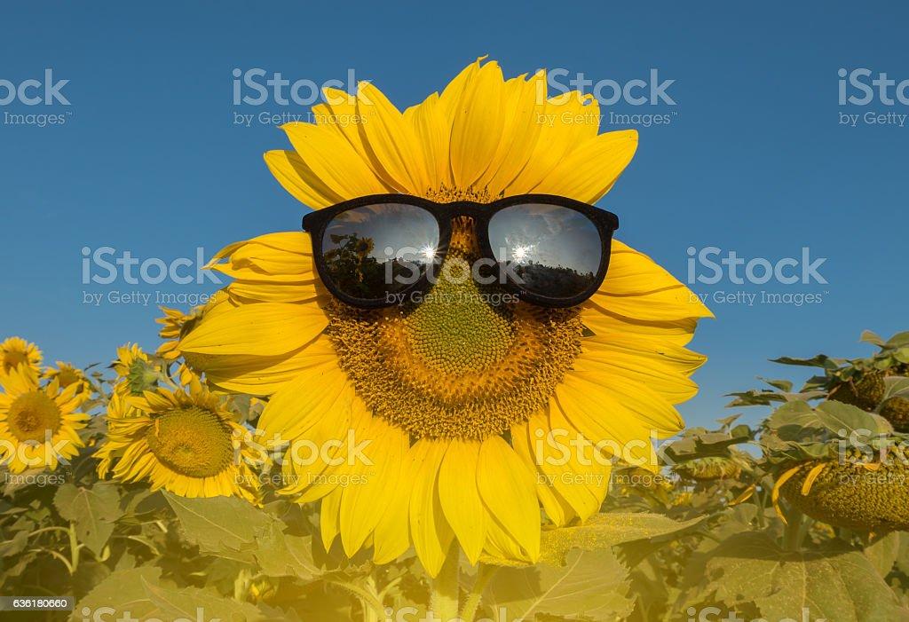 sun flowers17 stock photo