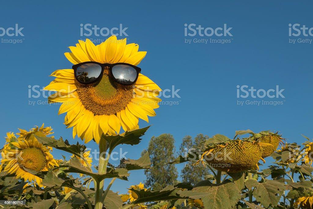 sun flowers18 stock photo