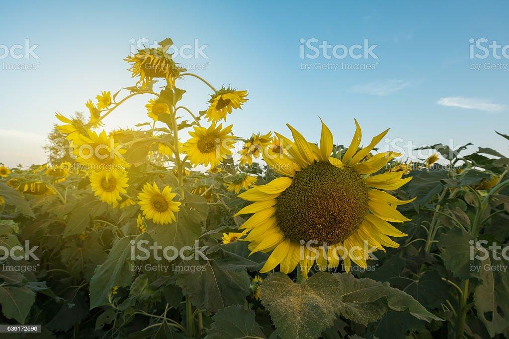 sun flowers2 stock photo
