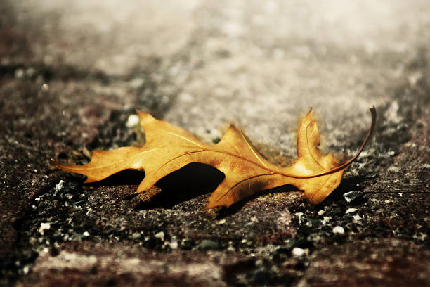 sun glow auf der trauer oak leaf - trauer abschied tod stock-fotos und bilder