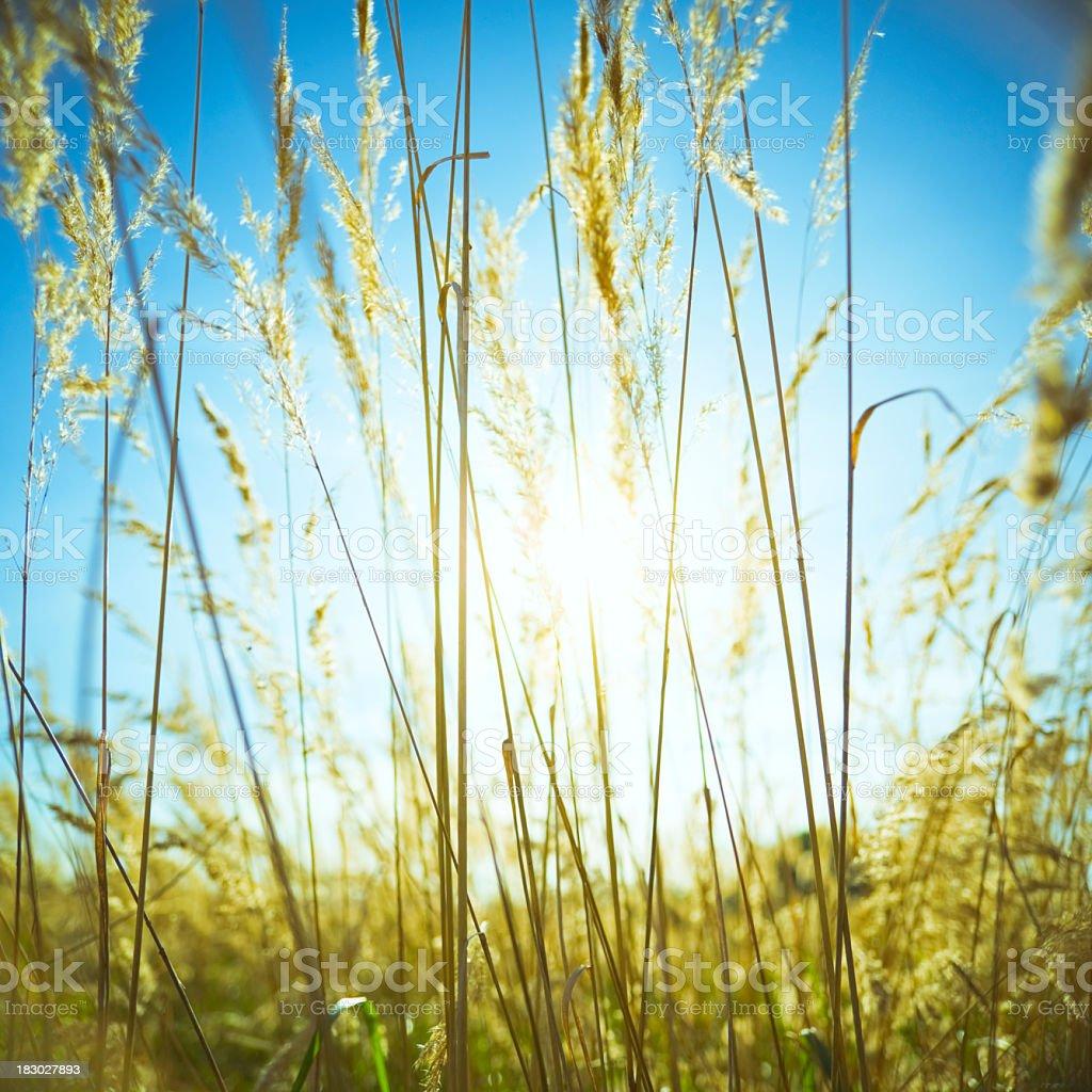 Sun in grass royalty-free stock photo