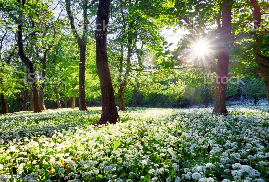 Sun in green forest with wild garlic – Foto