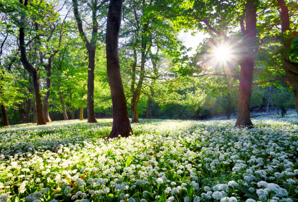 sun in green forest with wild garlic - blossom stock pictures, royalty-free photos & images