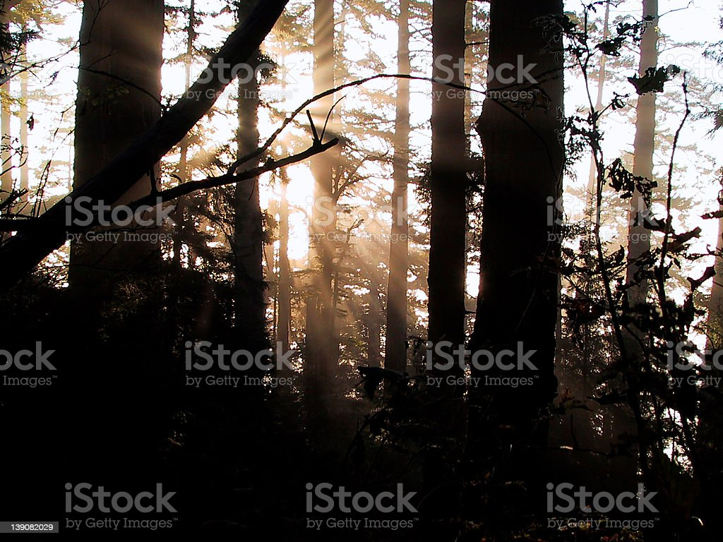 Sun in the Redwoods royalty-free stock photo