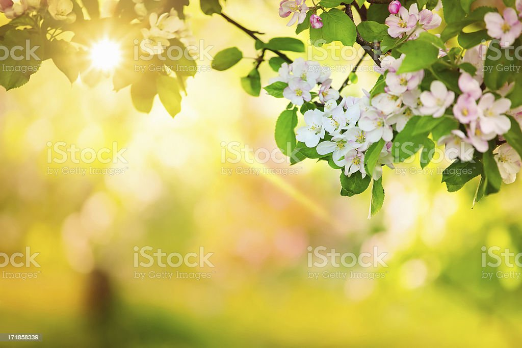 Sun in the Spring Orchard - Royalty-free Apple - Fruit Stock Photo