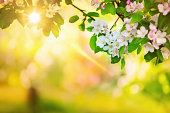 istock Sun in the Spring Orchard 174858339