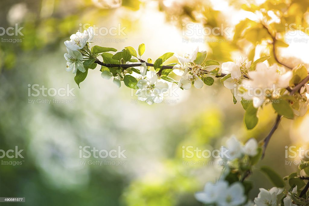 Sun in the Spring Orchard stock photo