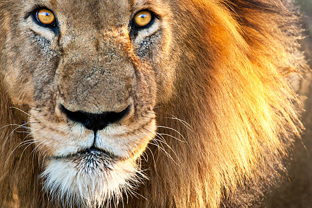 sun kissed male lion - lion stock photos and pictures