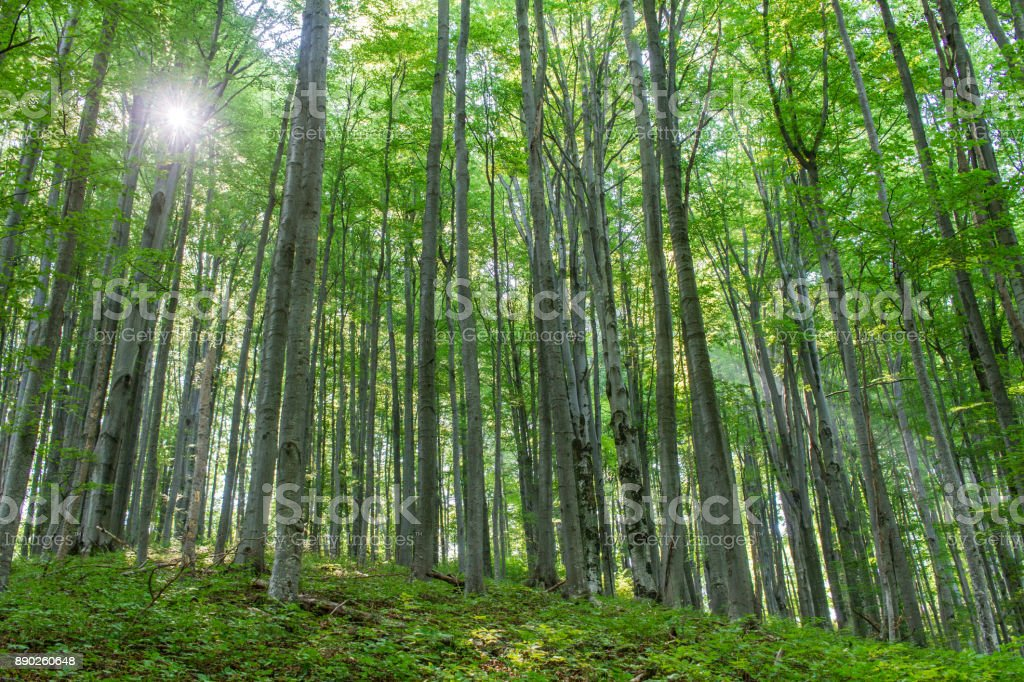 Sun light in the beech forest stock photo