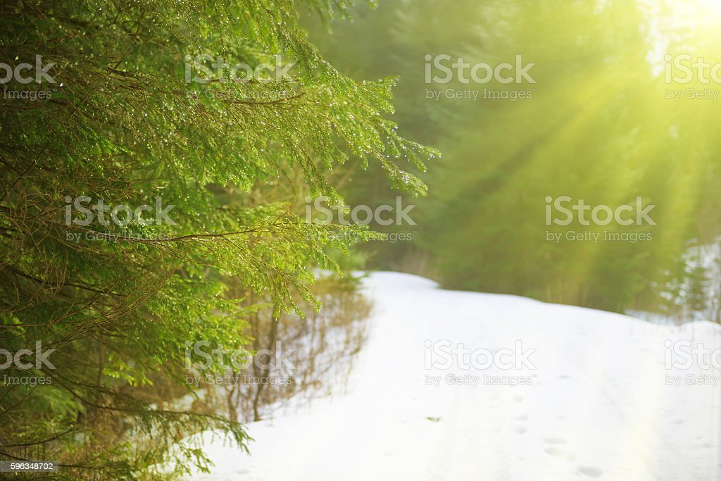 Sun light in the winter forest royalty-free stock photo