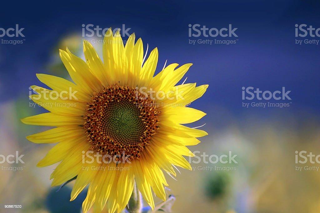 Sun Lit Sunflower royalty-free stock photo