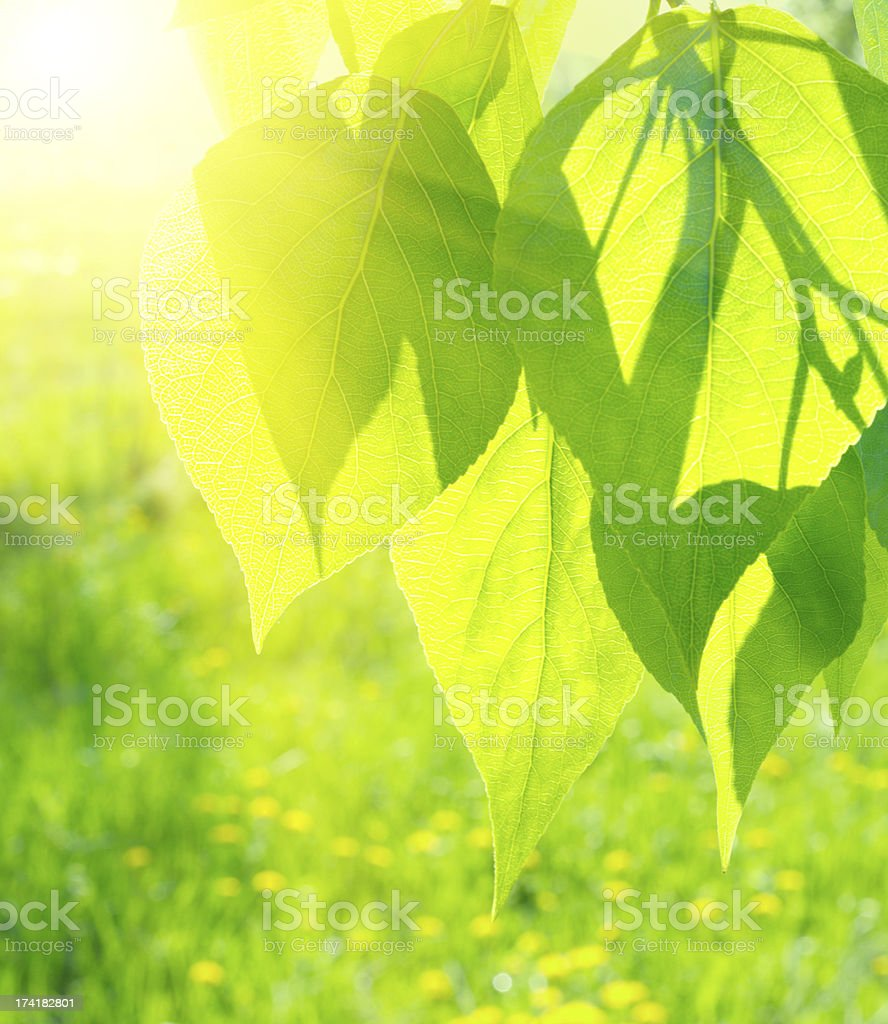 Sun over poplar leaves royalty-free stock photo