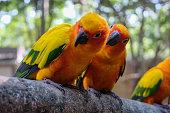 Pretty position of Sun parakeet. They are a small and beautiful bird