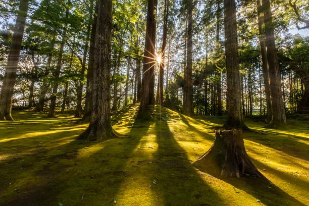 sun ray coming through pine forest in obi, kyushu, japan - sternmoos stock-fotos und bilder