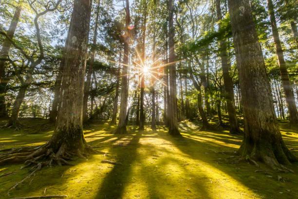 sonnenstrahl kommt durch kiefernwald im obi, kyushu, japan - sternmoos stock-fotos und bilder