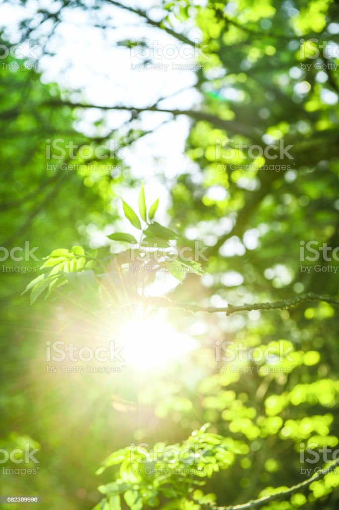 Sun rays and fresh green leaves. Spring time nature background zbiór zdjęć royalty-free