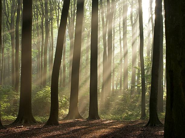 Sun rays crossing misty forest in an early autumn morning stock photo