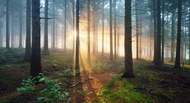solstrålar i en mörk dimmig skog. osnabruck, gemany - forest bildbanksfoton och bilder