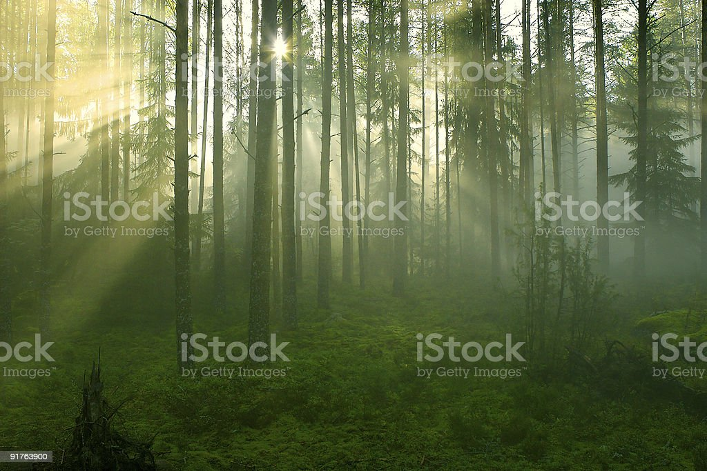 Sun rays in the forest royalty-free stock photo