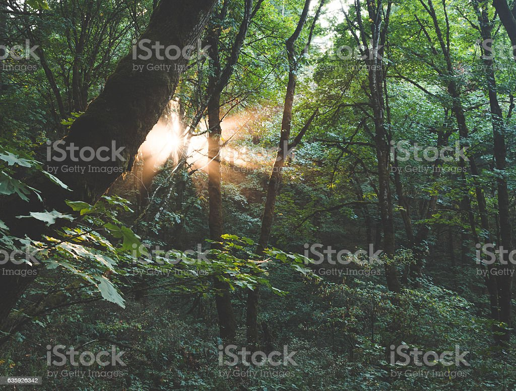 Sun rays in the green forest. stock photo