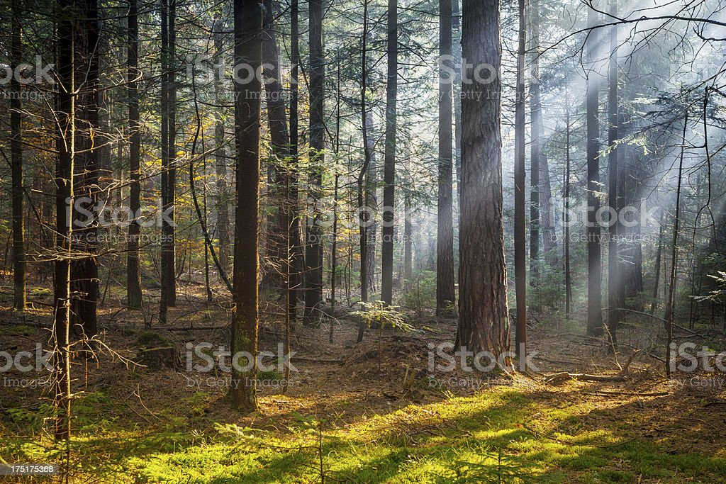 Sun Rays penetrating Pine Forest royalty-free stock photo