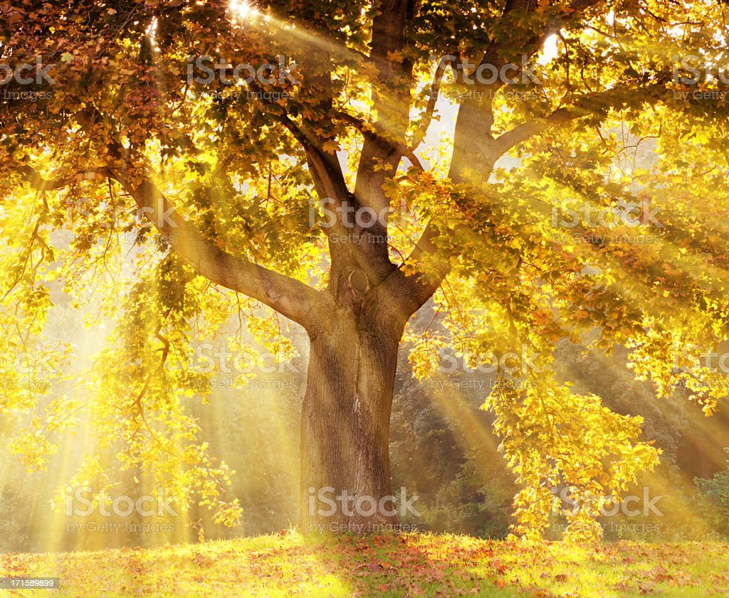 Sun rays shining through a tree with yellow leaves royalty-free stock photo
