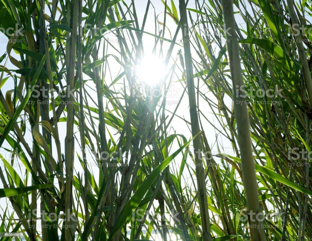 Sun rays shining through big green grass Phragmites near the sea coast in Croatian Island of Pag stock photo
