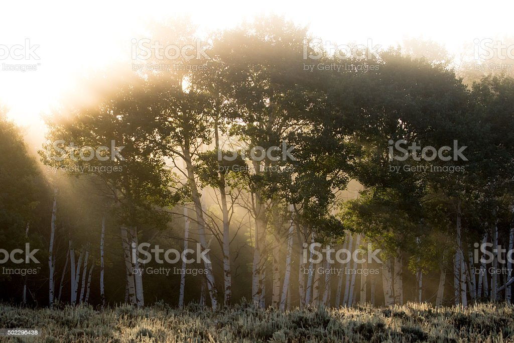 sun rays shining through foggy aspen forest stock photo
