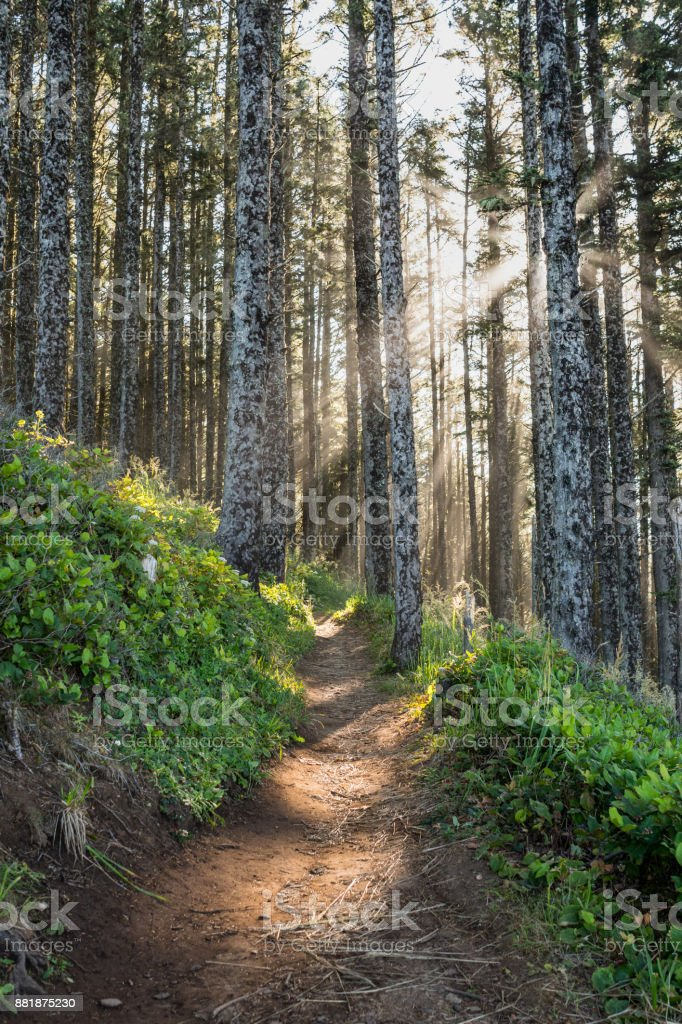 Sun Rays Through Pine Forest stock photo