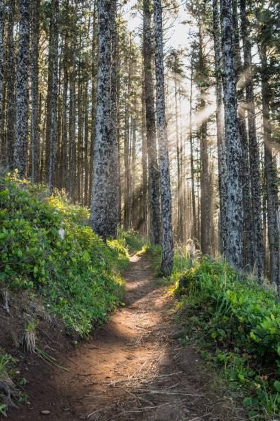raios de sol através da floresta de pinheiros - estrada em terra batida - fotografias e filmes do acervo