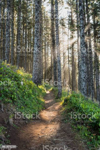 Photo of Sun Rays Through Pine Forest