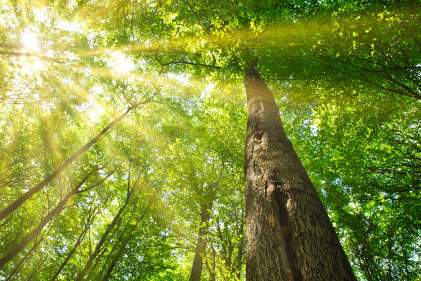 Sun Rays through the Canopy Of leaves Sonnenstrahlen durchs Blätterdach einer machtigen Buche directly below stock pictures, royalty-free photos & images