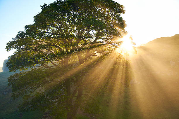 Sun Rises Over Hadrian's Wall The sun shines through the sycamore tree in Sycamore Gap, one of the iconic sites of Hadrian's Wall (and also famous from its starring role in the 1991 film Robin Hood: Prince of Thieves). sycamore tree stock pictures, royalty-free photos & images
