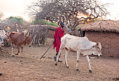 Cattle herd by watering hole and declining water level due to drought in the savanna woodlands and bush of northern Ghana Africa