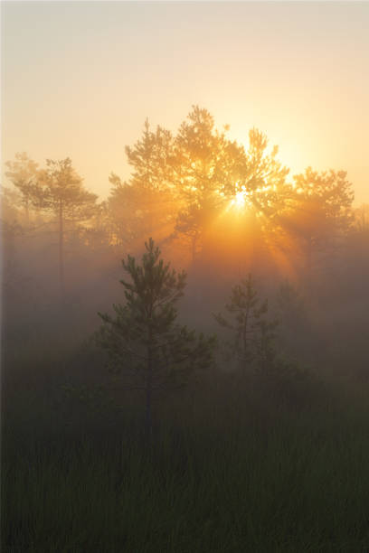Sun rising behind trees in green forest stock photo