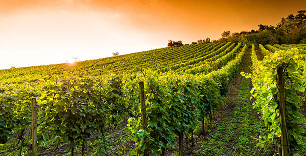 Sun rising over a vineyard in Hessen, Germany stock photo