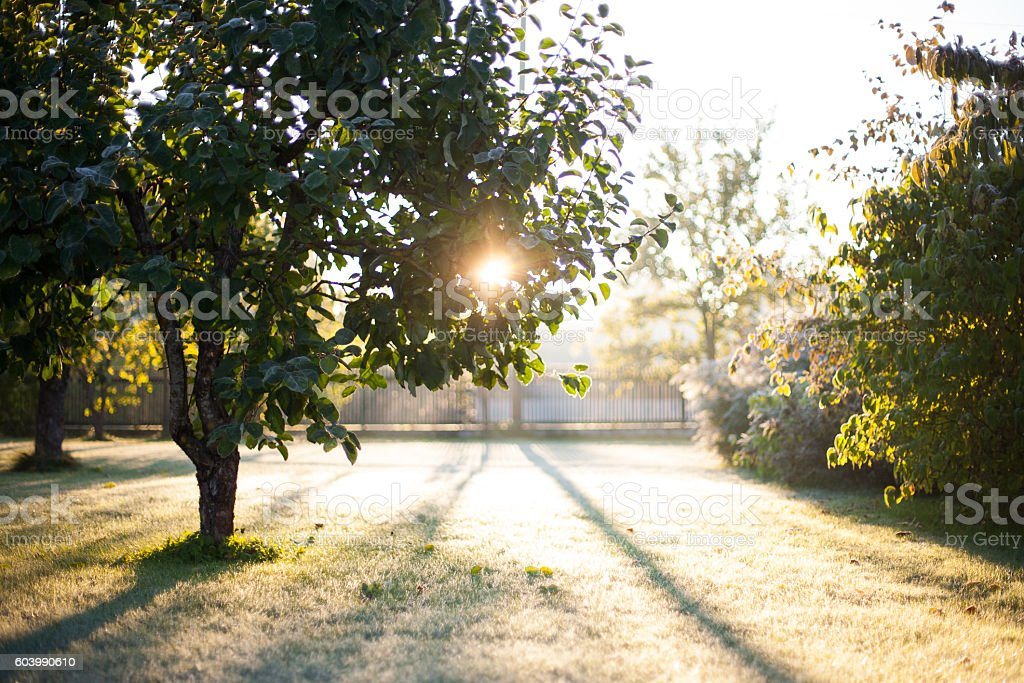 Sun rising through frosted apple tree leaves – Foto