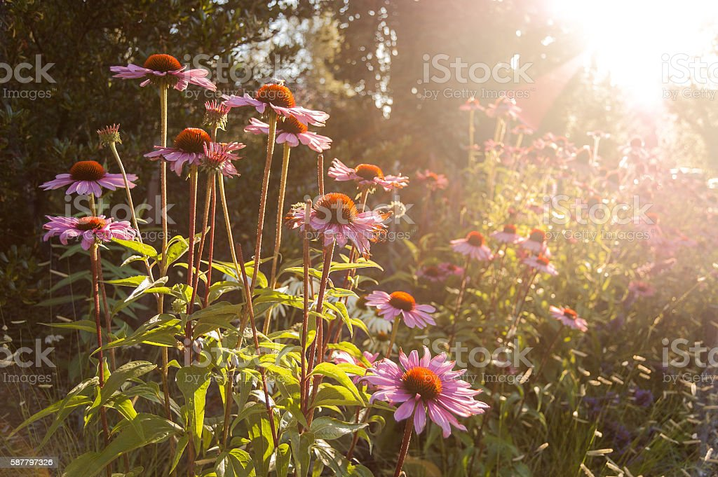Sun setting on purple coneflower garden with bee on flower stock photo