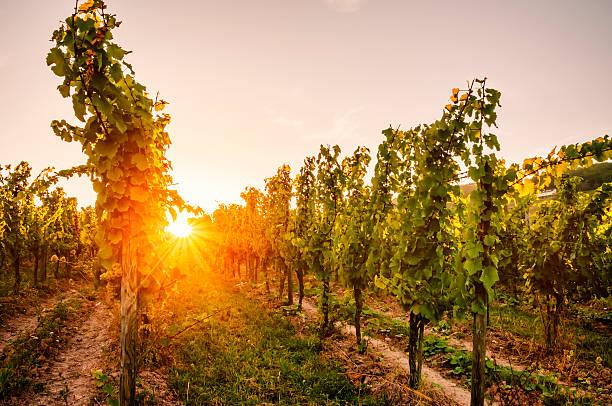 Sommerabend vineyard – Foto