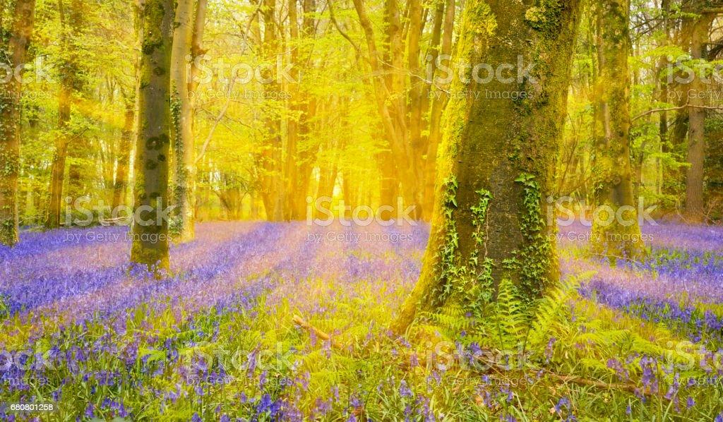 Sun shines through beech trees illuminating a carpet of bluebells stock photo