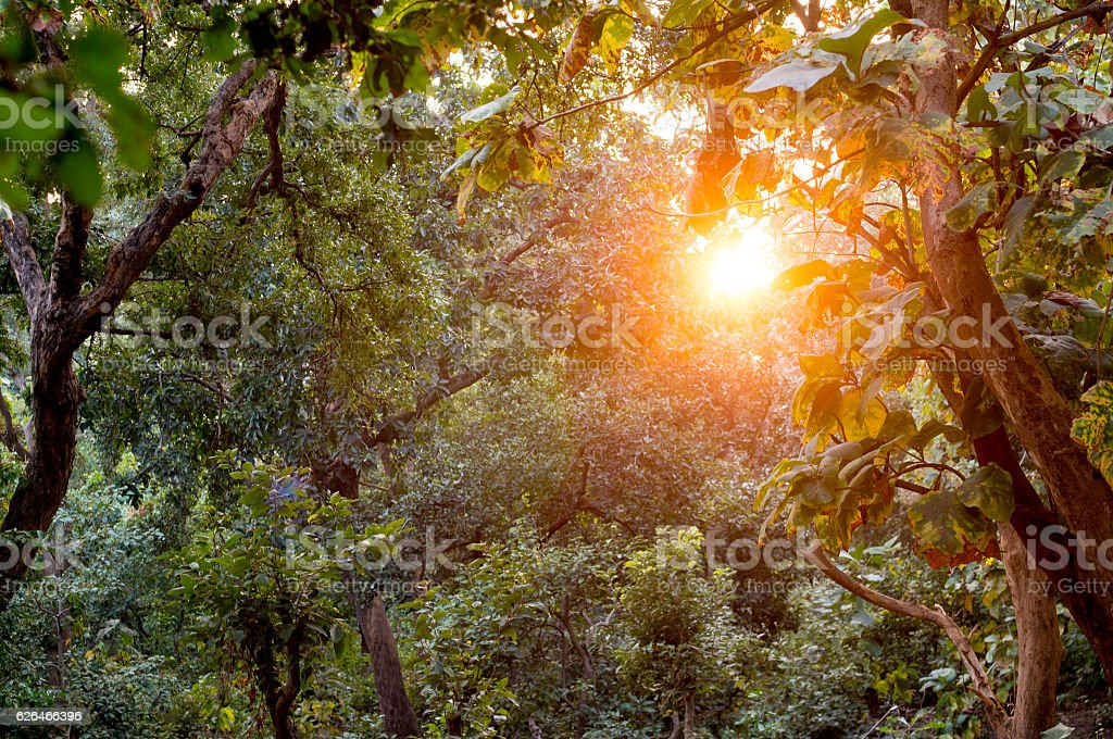 Sun shines through dense forest with golden light stock photo