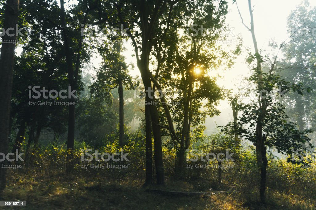 sun shines through the branches of green trees in a dense forest. stock photo