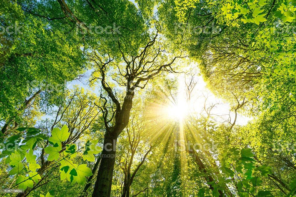 Sun shines through the treetops stock photo