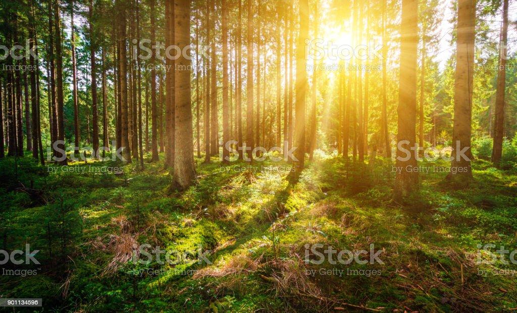 Sonne im Wald - Lizenzfrei Baum Stock-Foto