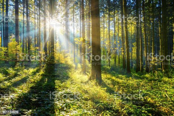 Sun shining in a forest picture id901134626?b=1&k=6&m=901134626&s=612x612&h=y9eeufnjrioxlq5m1 ks5ly 66geksenclvz0rhj22q=