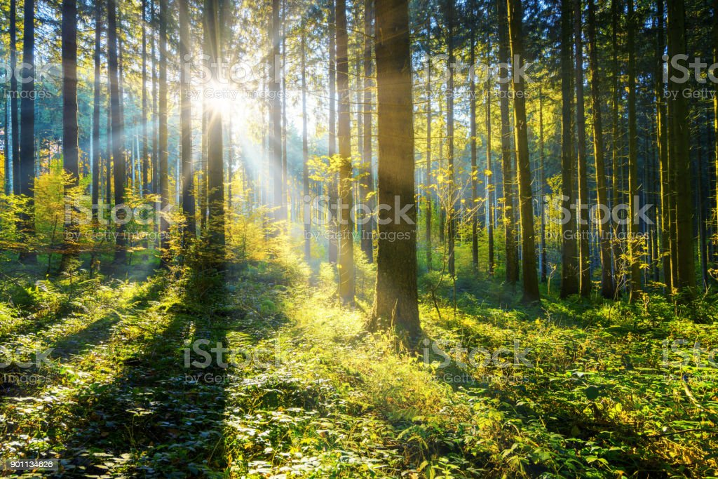 sun shining in a forest stock photo
