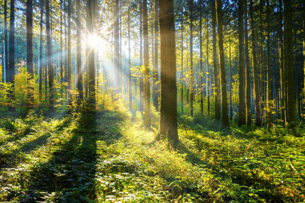 sun shining in a forest sunshine and sunrays in the woods forest stock pictures, royalty-free photos & images