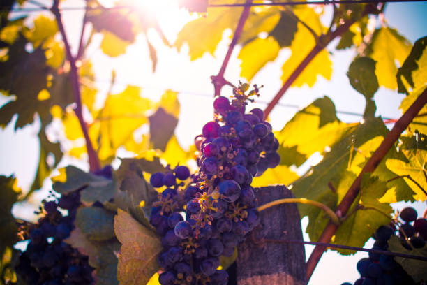 Sun Shining on Wine Grapes stock photo